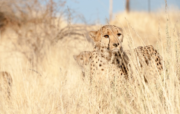 Picture grass, look, predator, Cheetah, observation, cheetah
