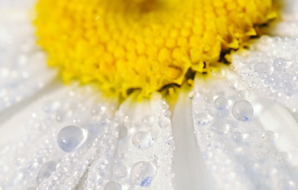 Picture flower, water, drops, macro, petals, Daisy