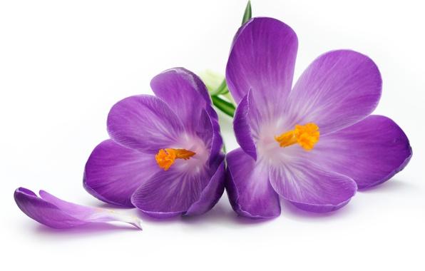 Picture flowers, petals, crocuses, flower, flowers, petals, crocus
