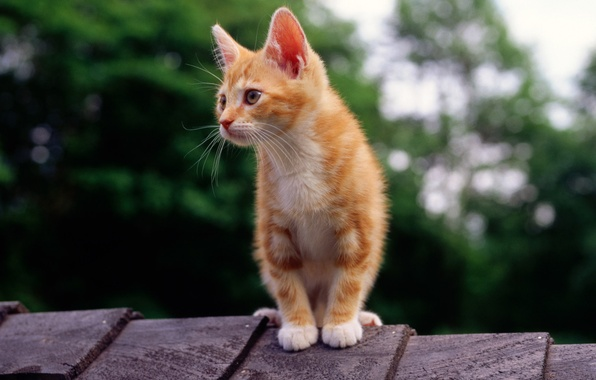 Picture roof, cat, cat, kitty, red, looks