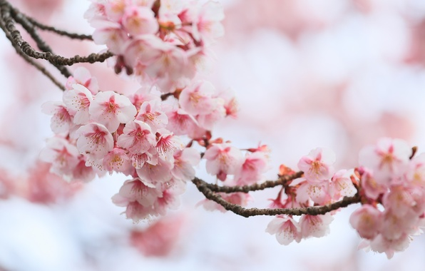 Picture macro, cherry, branch, spring, Sakura