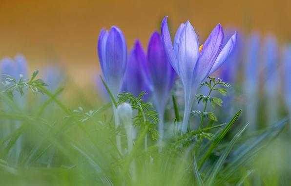 Picture grass, macro, crocuses, bokeh, saffron