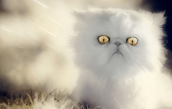 Picture fluffy, baby, kitty, eyes, white kitten