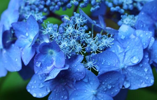 Picture drops, macro, flowers, hydrangea, inflorescence