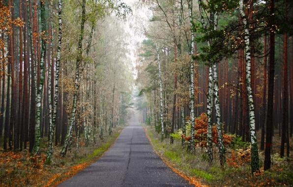 Picture road, autumn, birch