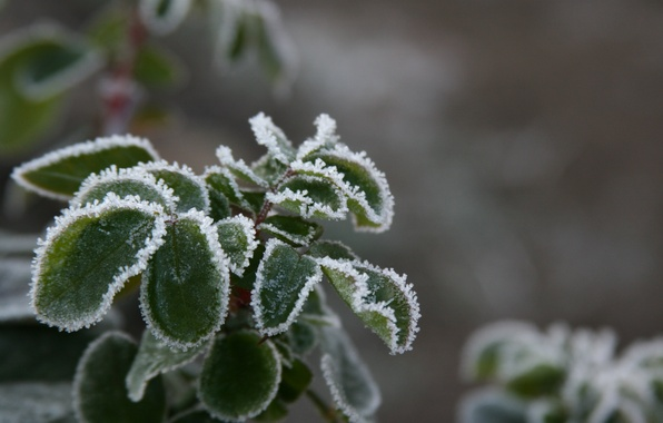 Picture cold, winter, frost, macro, snow, nature, background, Wallpaper, plant, frost, leaves