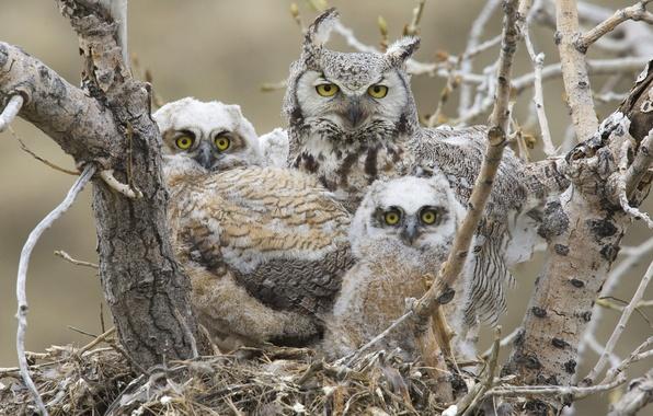 Picture birds, socket, Chicks, great horned owl, Great horned owl
