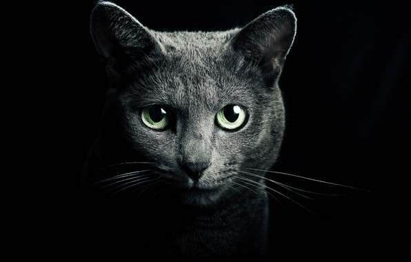 Picture cat, eyes, cat, look, grey, green, black background, blue, Russian, breed