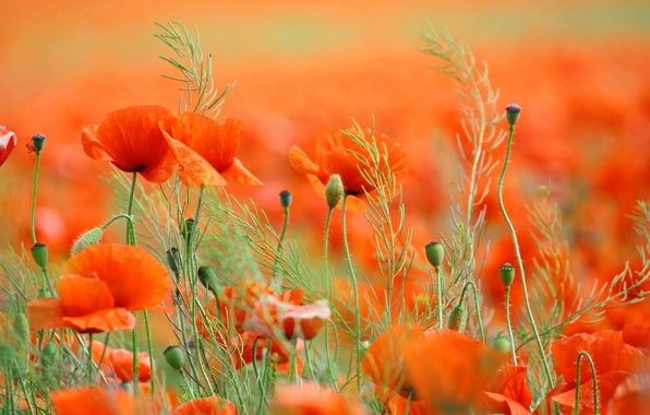 Picture field, flowers, nature, Maki, spring, petals, field, nature, flowers, spring, petals, poppies