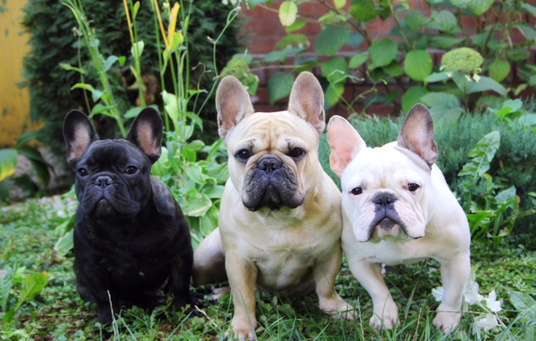 Picture summer, grass, French bulldog, French Bulldog, three dogs