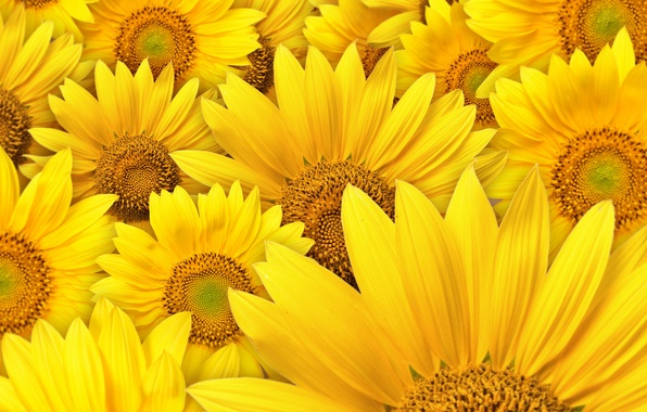 Picture sunflowers, flowers, macro photography