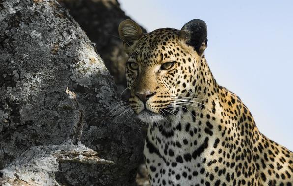 Picture look, face, predator, leopard, leopard