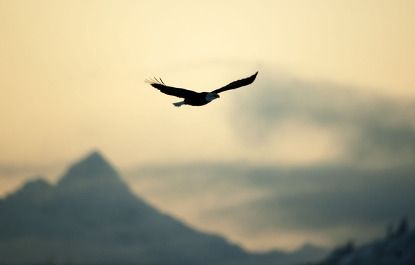 Picture the sky, freedom, flight, nature, bird, eagle, calm, blur, different, widescreen, full screen, HD wallpapers, …