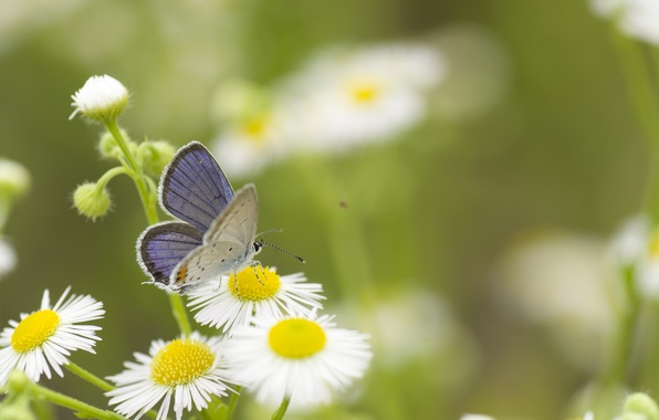 Picture greens, summer, grass, macro, flowers, nature, butterfly, chamomile, white