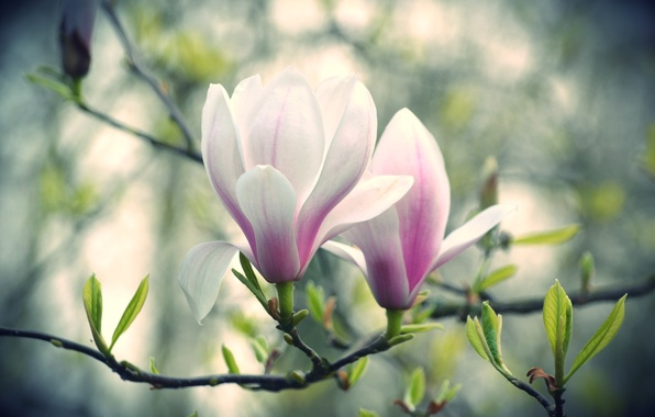 Picture flowers, branch, Magnolia, pink and white