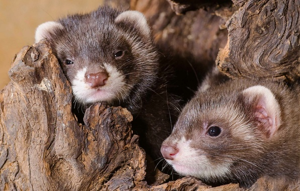 Picture puppies, a couple, cubs, ferrets