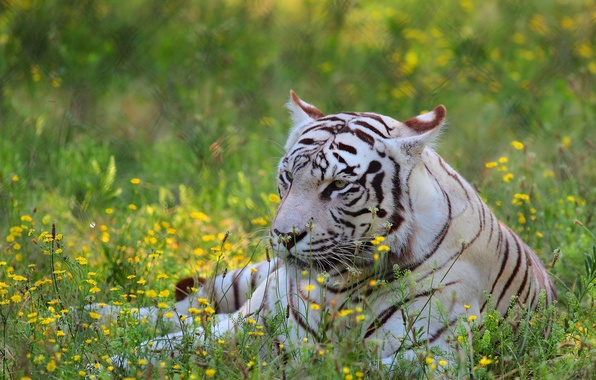 Picture white, flowers, tiger, predator, meadow