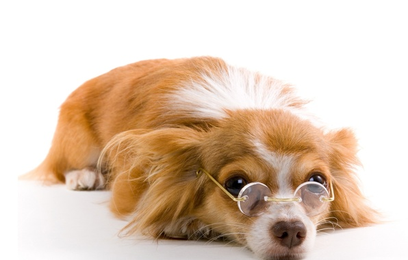 Picture dog, glasses, white background, red