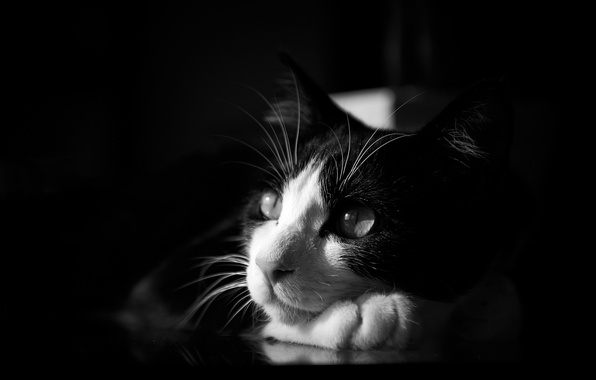 Picture cat, black and white, lying, monochrome