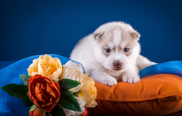 Picture flowers, puppy, pillow, husky