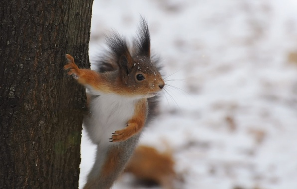 Picture winter, tree, protein, fur, rodent