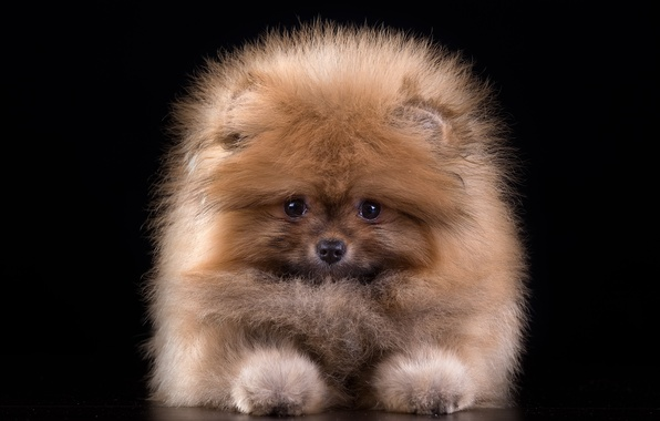 Picture wool, fluffy, cute, puppy, Spitz