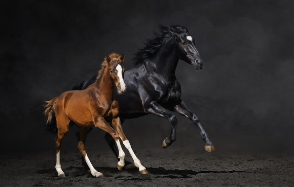 Picture horse, horse, dust, running, pair, foal