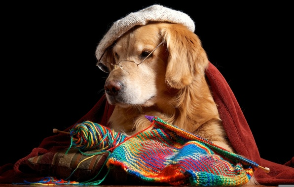 Picture glasses, dog, takes, Retriever, knitting
