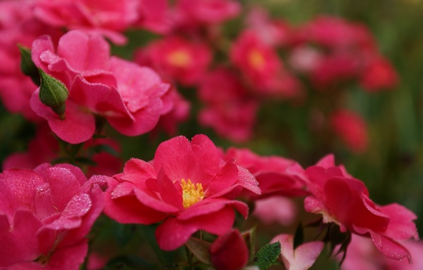 Picture drops, macro, flowers, Rosa, bright, Bush, roses, petals, pink