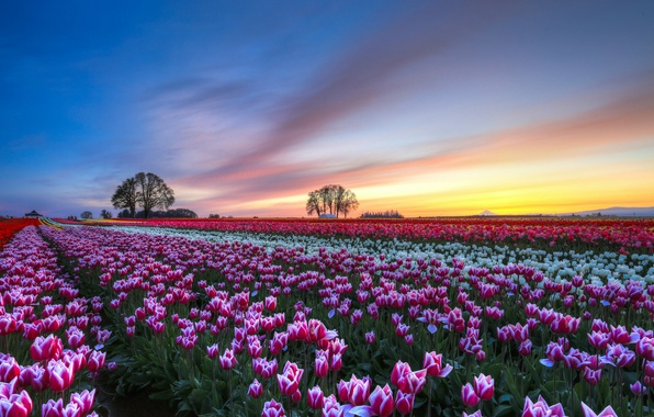 Picture the sky, clouds, trees, sunset, flowers, Field, the evening, tulips, colorful