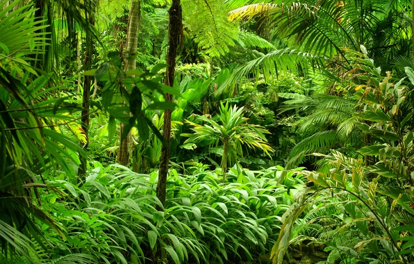 Picture greens, forest, trees, tropics, Jungle, the bushes