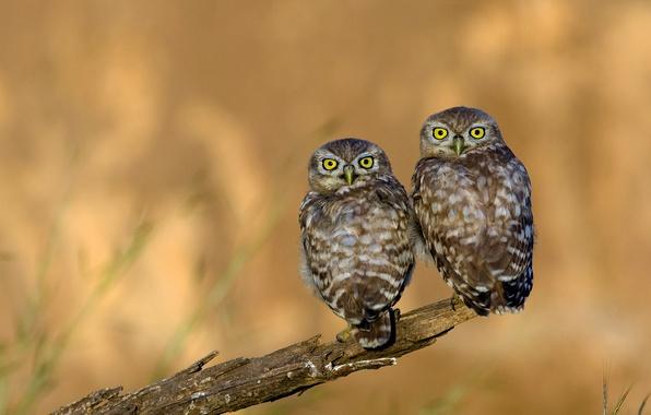 Picture eyes, look, owl, feathers, beak, owl