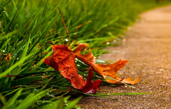 Picture leaves, water, macro, Rosa, drop, leaf, leaf, rain, nature, water, autumn, macro, drops, leave