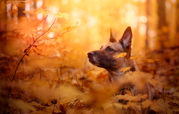 Picture autumn, face, leaves, branches, dog, bokeh, Belgian Malinois