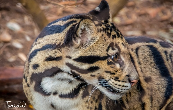 Picture face, predator, wild cat, young, clouded leopard