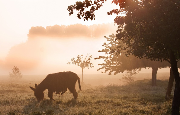 Picture field, nature, fog, morning, donkey