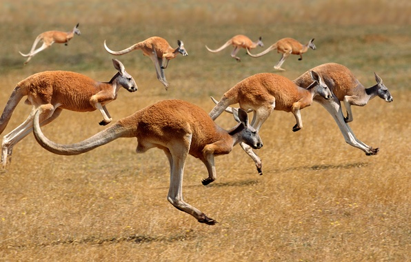 Picture Australia, kangaroo, the herd, mammal