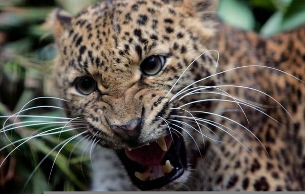 Picture mustache, leopard, fangs, grin