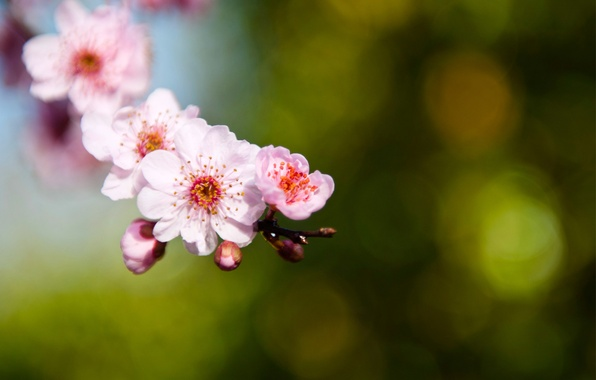 Picture macro, green, glare, sprig, background, focus, branch, petals, Sakura, blur, pink, buds
