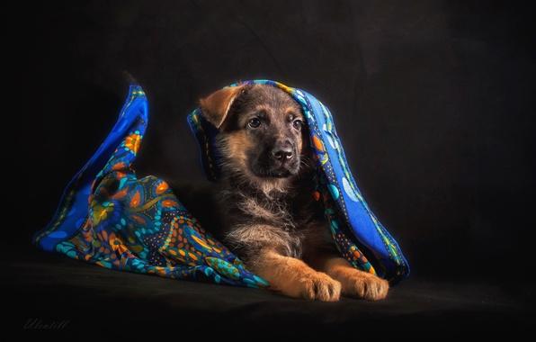 Picture puppy, shawl, shepherd, German