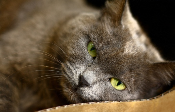 Picture cat, eyes, cat, grey, green, lies