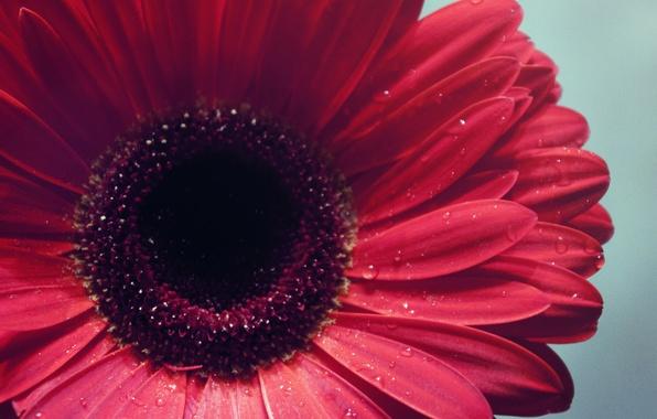 Picture water, drops, macro, flowers, focus, petals, Bud, flowers, gerbera
