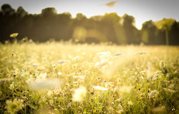 Picture field, forest, summer, grass, the sun, light, flowers, nature, heat, glade, plants, white, grass, field