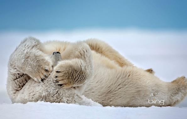 Picture snow, Alaska, USA, polar bear, The Beaufort Sea, point barrow