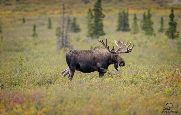 Picture face, power, horns, moose
