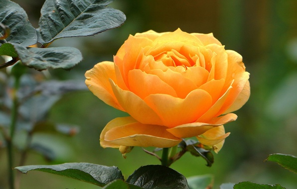 Picture leaves, rose, Bud, yellow rose