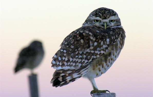Picture macro, birds, Owl, blur, owls, columns