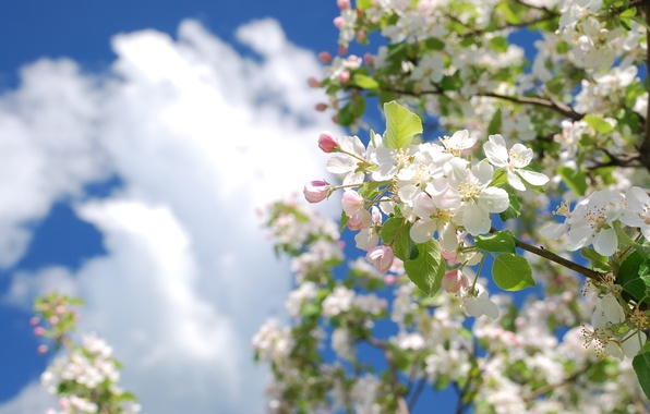 Picture the sky, clouds, tree, color, branch, spring, Apple