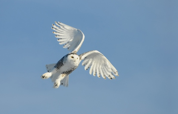 Picture the sky, flight, owl, bird, wings