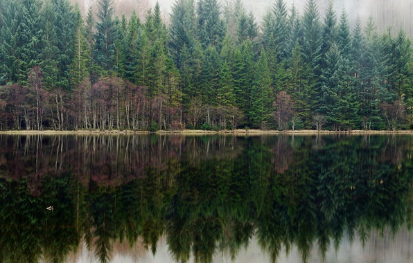 Picture forest, fog, lake, reflection, pine